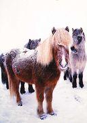 Iceland - ICELANDIC HORSES NA