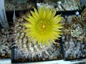 Eriosyce islayensis ( Islaya islayensis)