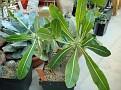 Pachypodium rosulatum var horombense -10399 Madagascar,Ihosy