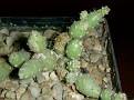 Tephrocactus minor