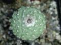 Strombocactus disciformis ssp. esperanzae