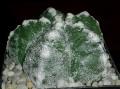 Astrophytum myriostigma cv. 'Kikko-Ginsha'