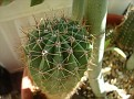 Echinopsis Hybrid 'Charlemagne'