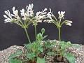 Pelargonium camprestre
