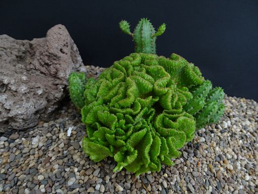 Euphorbia baylissii