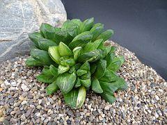 Haworthia Hybridfa. variegata