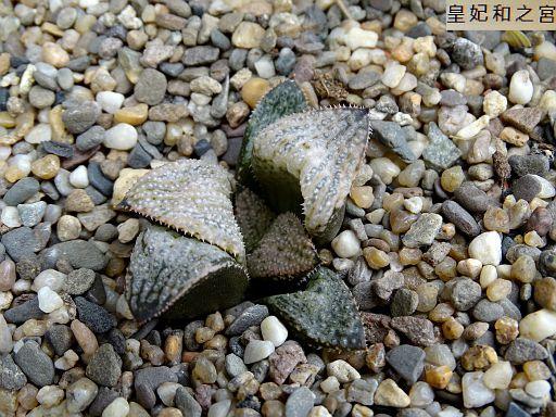 Haworthia 'Ollasonii'