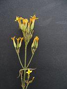 Kalanchoe lucile-allorgei