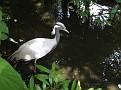 Grus virgo  Anthropoides  Juffer kraanvogel