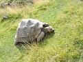 Geochelone nigra  Galapagos tortoise