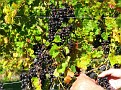 Grape Picking at Natali's Vineyard 10-21-09 (22)