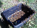 Thursday October 8-09 / 1:20 PM.  Letting the honey bees clean up a tub of sugar water.