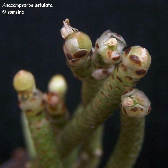 Anacampseros ustulata