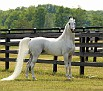 A TEMPTATION #519275 (Tempter x A Love Song, by *Bask++) 1995 grey stallion bred by Strawberry Banks Farm