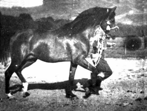 ABU AFAS (Bad Afas x Gahdar, by Wielki Szlem) 1947 bay stallion bred by Nowy Dwor