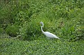 Summer Great Egret