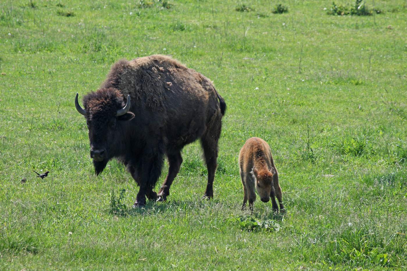 Bison and Calf #19