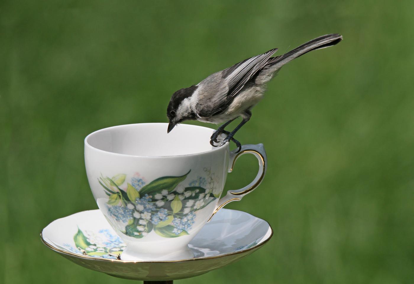Chickadee at Teacup #31