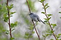 Blue Gray Gnatcatcher #21