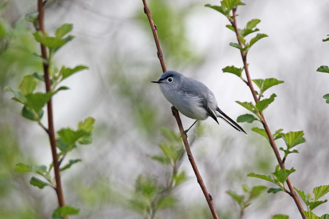 Blue Gray Gnatcatcher #21