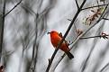 Scarlet Tanager #22