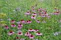 Echinacea - Cone Flower #10