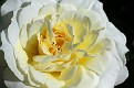 Heritage Rose #13