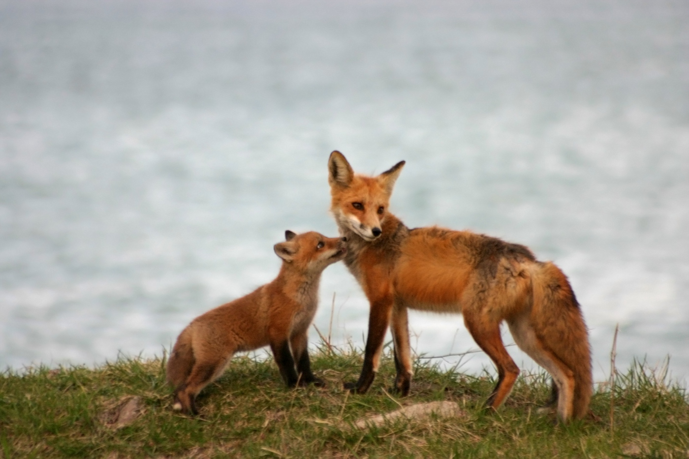 Red Fox Series #7