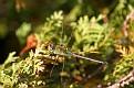 Green Darner Dragonfly 1