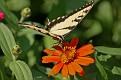 Swallow Butterfly on Flowers