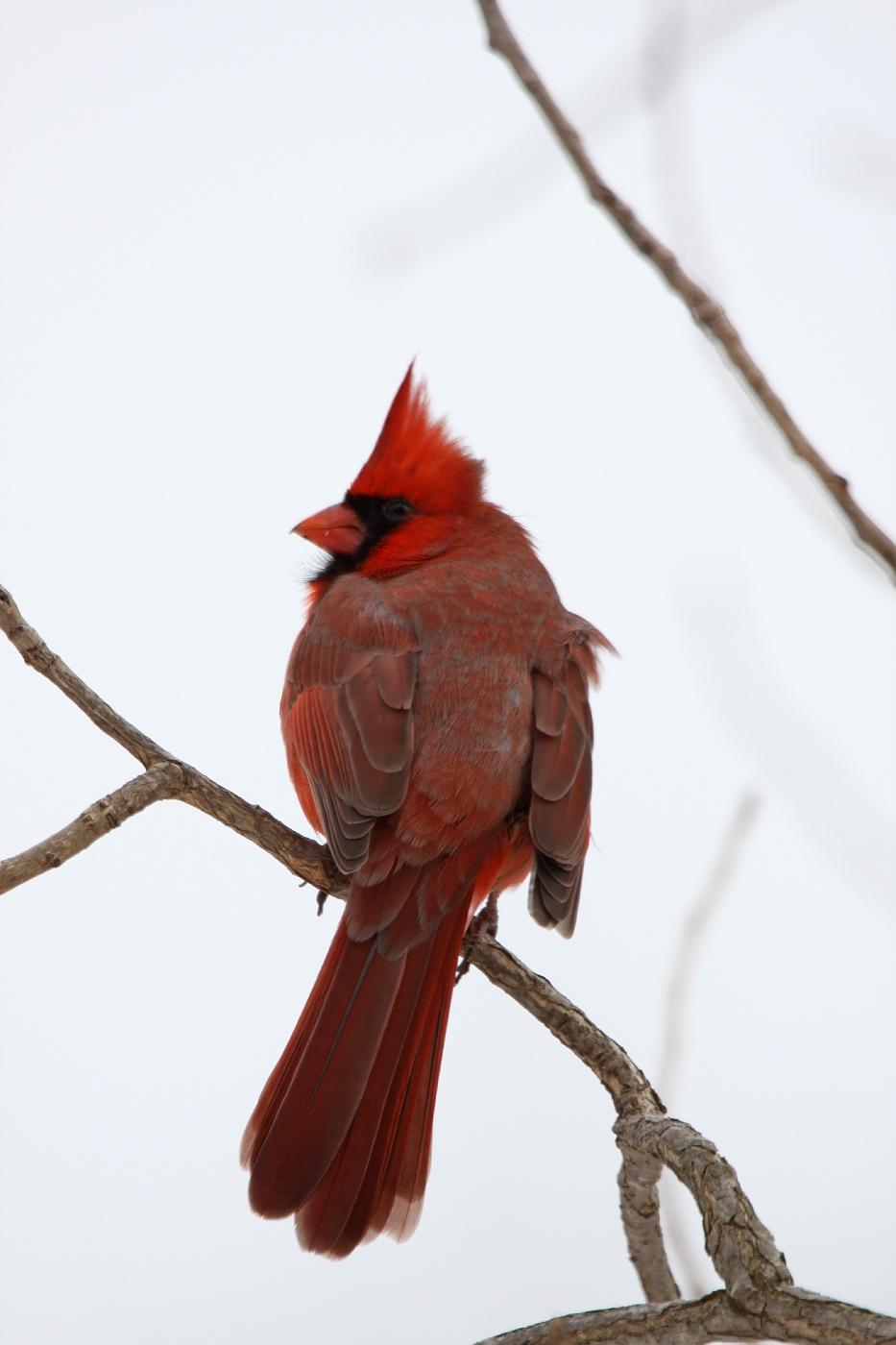 Cardinal #12