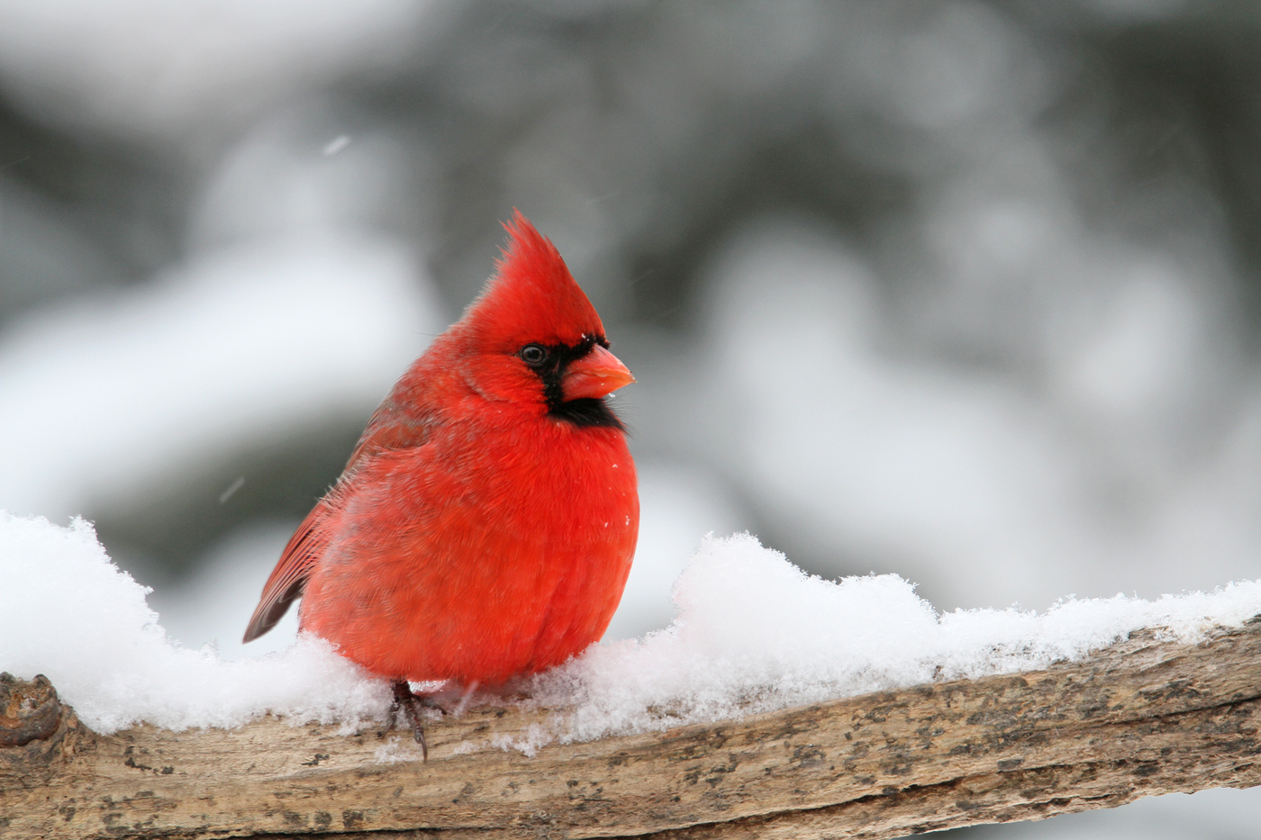 Cardinal #18 Winter Snow