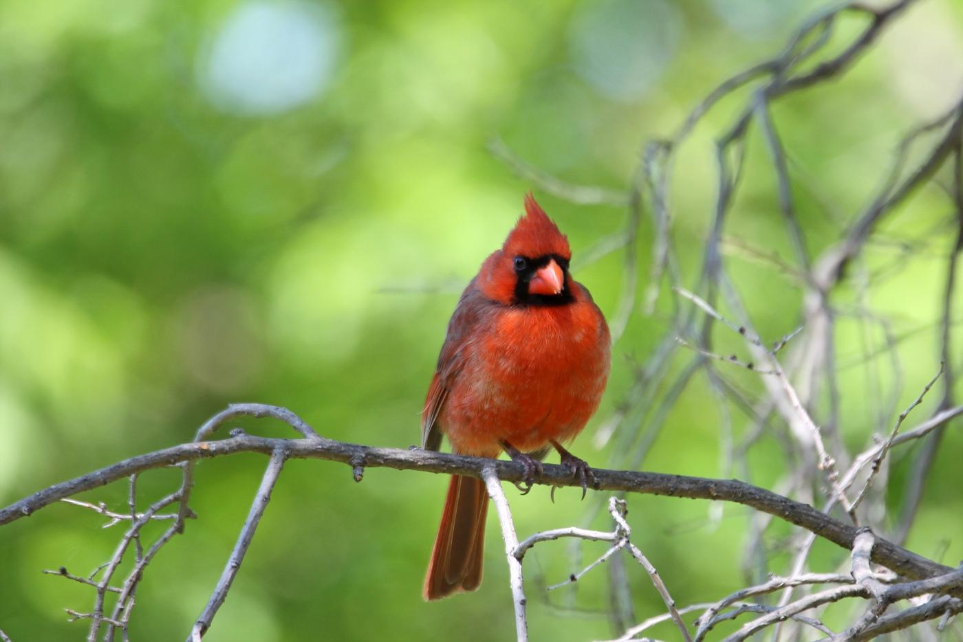 Cardinal #15