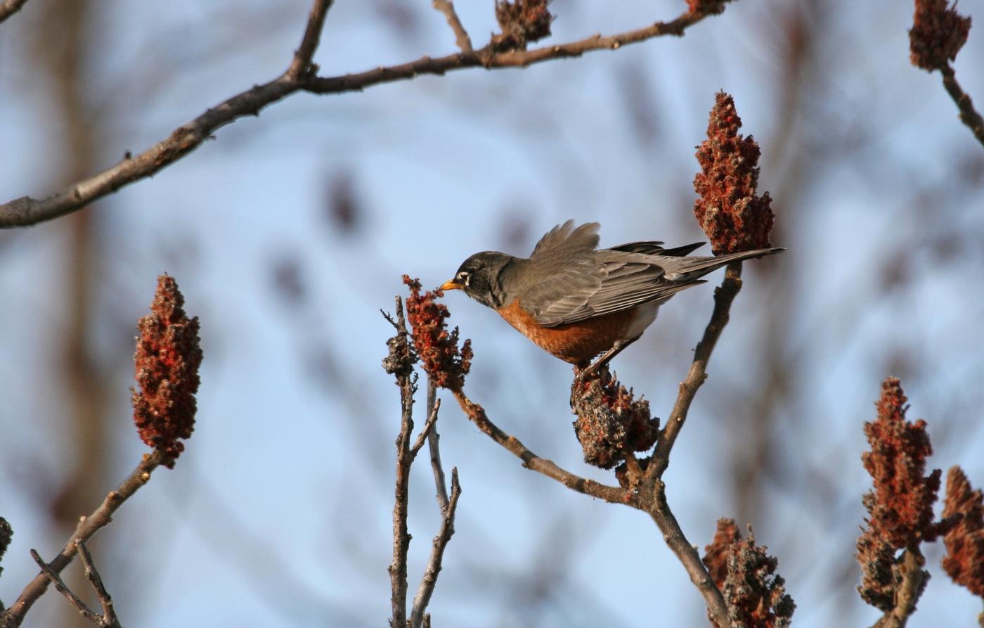 Spring Robin #6