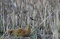 Sandhill Crane Chick - Peeking Around #2