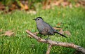 Catbird #2