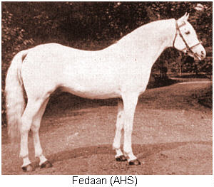 Fedaan, a Saqlawi Jadran of the marbat of Ibn Zubayni, imported to the UK by HVM Clark