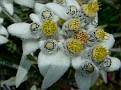 Very Rare Edelweiss - Zermatt