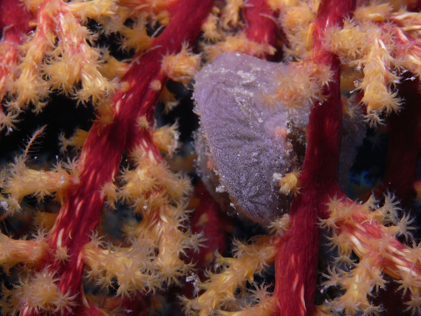 Closeup of Soft Coral and small clam