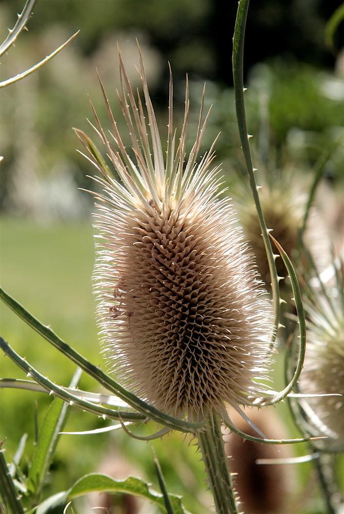 Banksia at Adelaide Botanic Garden
