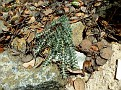 Euphorbia veneris   (14)