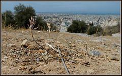 Allium hirtovaginatum (70)
