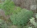 Euphorbia acanthothamnos