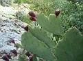 Opuntia sp  (5)