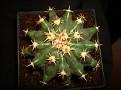 Ferocactus horridus var  brevispinus