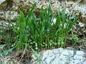 Biarum tenuifolium (6)