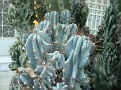 Cereus (13)