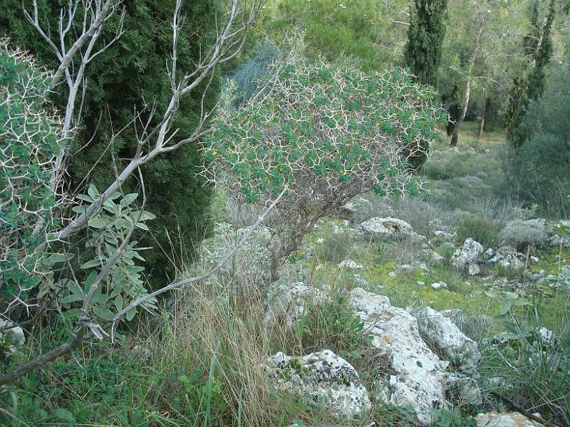 Euphorbia acanthothamnos (5)