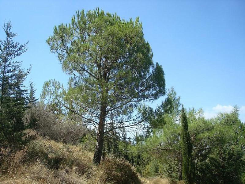 Pinus pinea - Κουκουναριά (1)