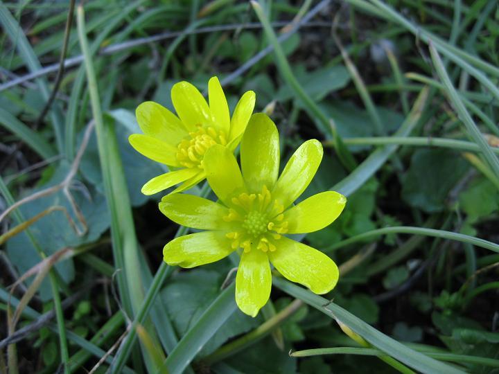 Ranunculus ficaria (2)